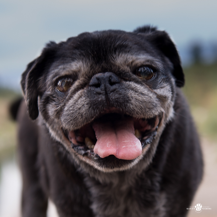 Older Chinese Pug smiling with his tongue out.