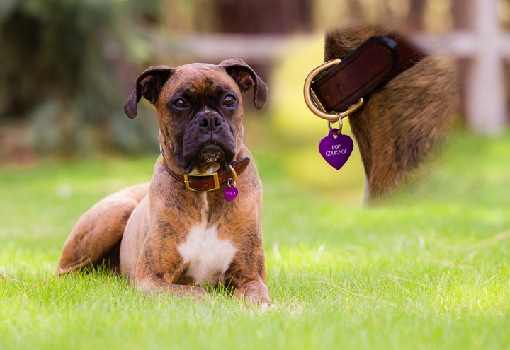Boxer lying on the grass with an insert photo of her tag that says For Courage