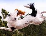 border collie catching toy in air