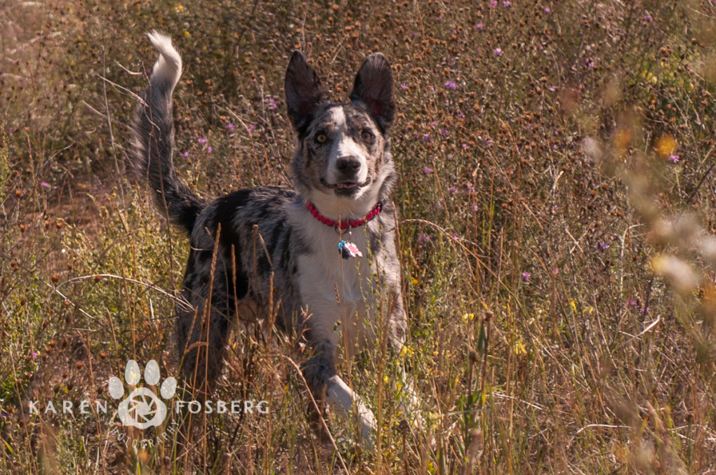 dogs-canine-photography-Border Collie-field-Spokane
