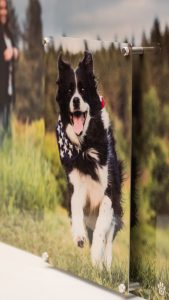 border collie running in the grass