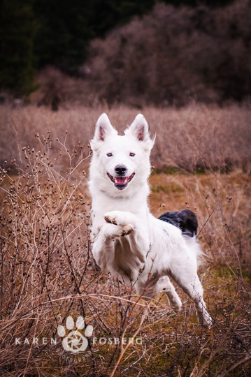 dogs-pet-photography-Border Collie-running
