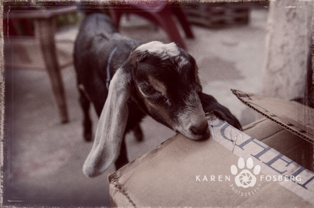 goat,-kid,-pet,-photography-8